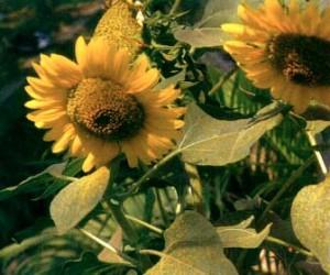 Khasiat Obat dan Manfaat Bunga Matahari