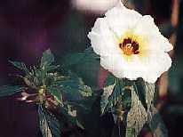 Khasiat Obat dan Manfaat Bunga Pukul Delapan