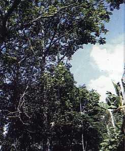Khasiat Obat dan Manfaat Dari Pohon Dadap Ayam