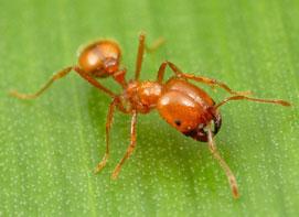 Hati-hati, Ada Bahaya Semut yang Mematikan