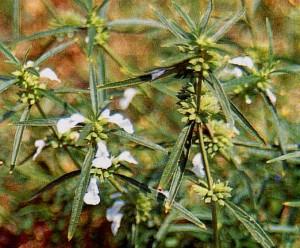 Khasiat Obat dan Manfaat dari Tanaman Lenglengan