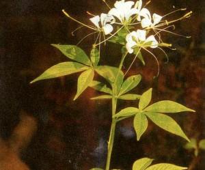 Khasiat Obat dan Manfaat dari Tanaman Mamang Besar