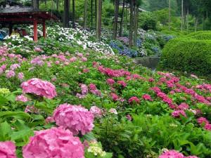 Hamparan Bunga, Indahnya Awal Musim Panas di Kyoto Jepang