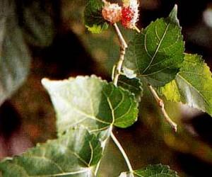 Khasiat Obat dan Manfaat dari Murbei